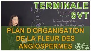 Plan d'organisation de la fleur des Angiospermes