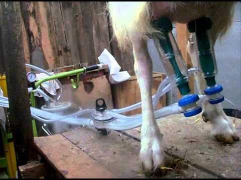 доение козы доильным аппаратом