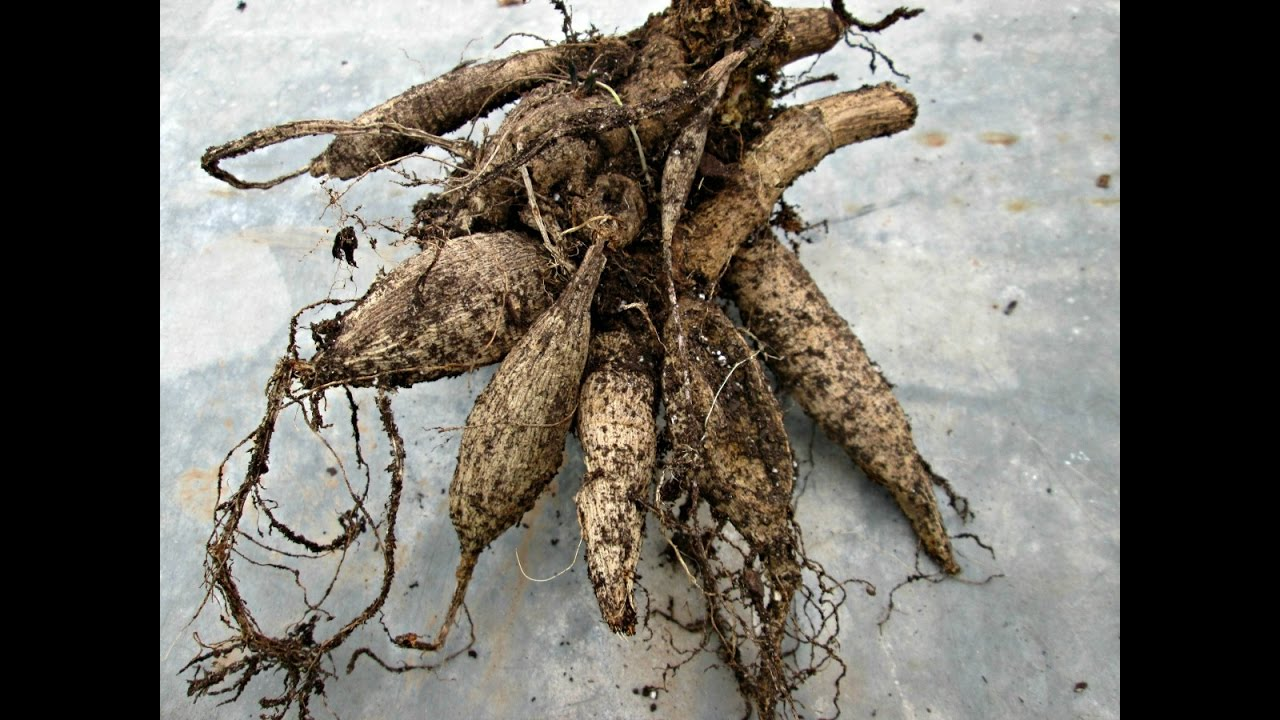 How To Lift And Store Dahlia Tubers Youtube