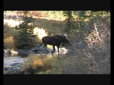 Yellowstone Moose.wmv