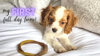 NEW PUPPY FIRST FULL DAY HOME! | Cavapoo Puppy All the Details & Tips!