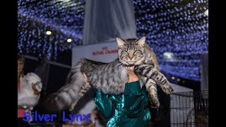 Котенок мейн-кун 8 месяцев)