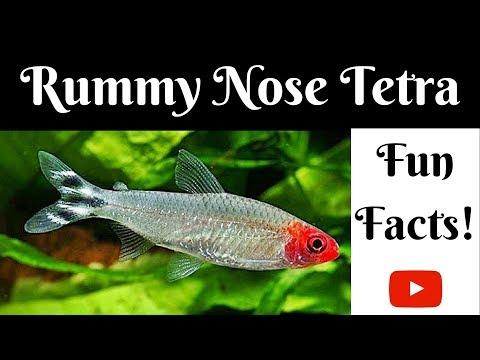 Rummy Nose Tetra Fun Facts
