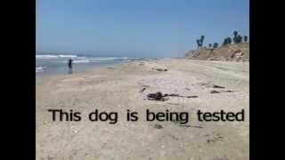 Huntington Beach Dog Beach Training Dogs For Obedience And Behavior