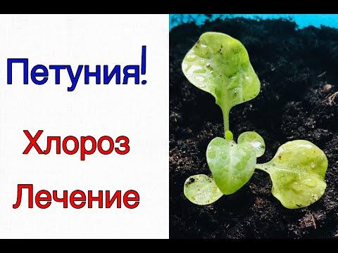 Петуния! Что делать, если пожелтели листья у рассады петунии! Хлороз!