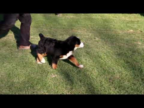 Bernese Mountain Dog Puppy For Sale Sam King