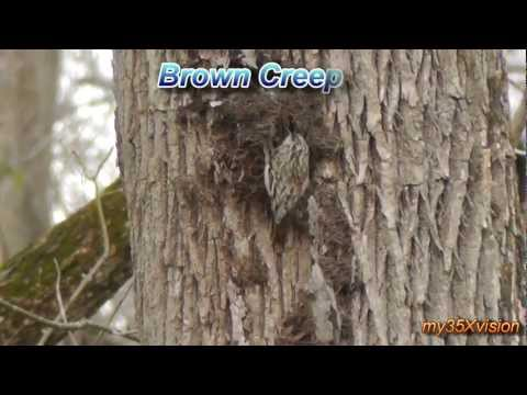 Christmas Song of Carolina Wrens ~ Brown Creeper ~ Bluebird and other birds in HD