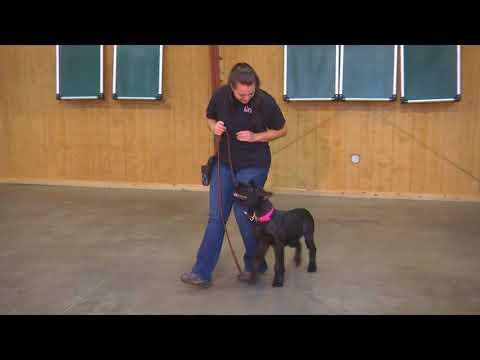 "Giant Schnauzer Female ""Kaya"" 6 mo's Puppy Obedience Training"