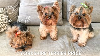 Yorkshire Terrier Price| Yorkshire Terrier for Sale