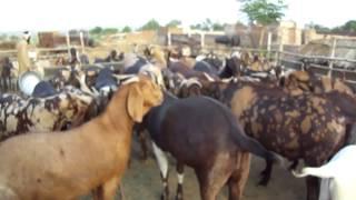 FM GOATS FARM - EID GOATS 2012