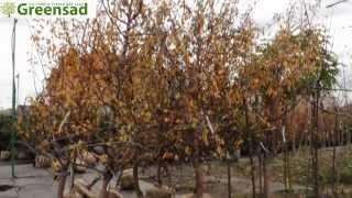 Плодовые крупномеры - видео-обзор от Greensad