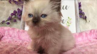 Rare Chocolate MINK Mitted Ragdoll Girl Kitten