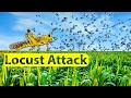 Locust Attack | Explained by krkumar Insights