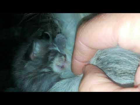 Kitten getting milk, Norwegian Forest Cat/Norvégien/Norsk Skogkatt. Liljeriket.no