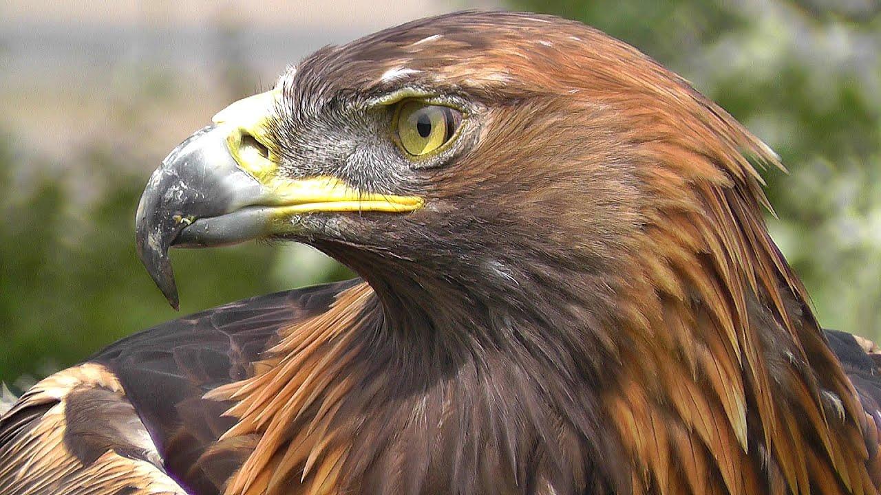 Golden Eagle Bird Of Prey Spectacular Close Up Of Natures