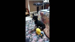 娘の自宅で生まれたチワワが母親犬に育児放棄されて 我が家に来たロング...