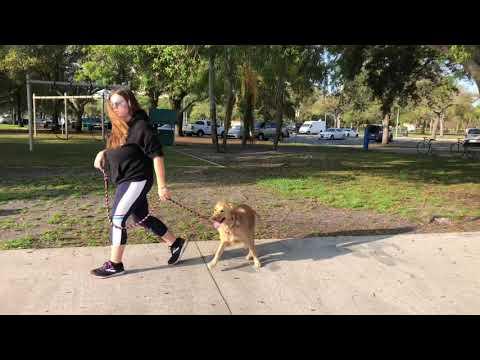 Bella | Golden | Town Training