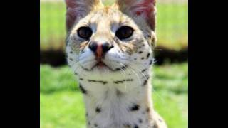 I provoked a serval Thumbnail