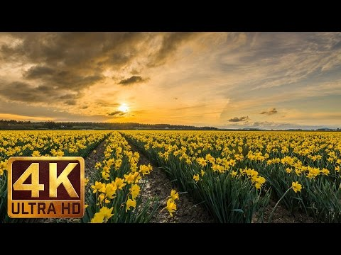 3.5 Hours Relax Spring Flower Video with Nature Sounds, Birds Singing - Skagit Valley Daffodils