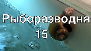 Рыборазводня в гараже, часть 15: размножение аквариумных улиток ампулярий
