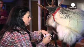 Pet reindeer: Aatu watches TV,