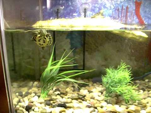 tortugas acuaticas trachemys scripta acuario 30 litros