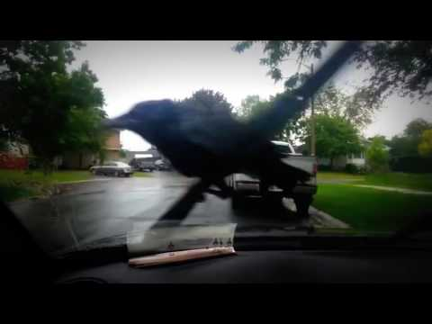 Crazy Crow - Crow Getting Jiggy On Windshield Wiper - Good For a Laughh