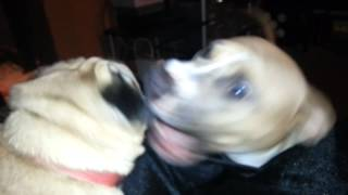 Pug Vs. Pitbull Fight (pug Survives)