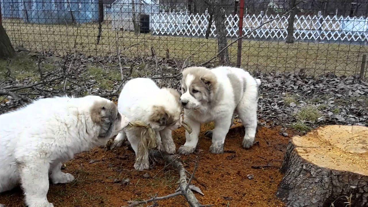 Bukovina Shepherd: content and reviews 11