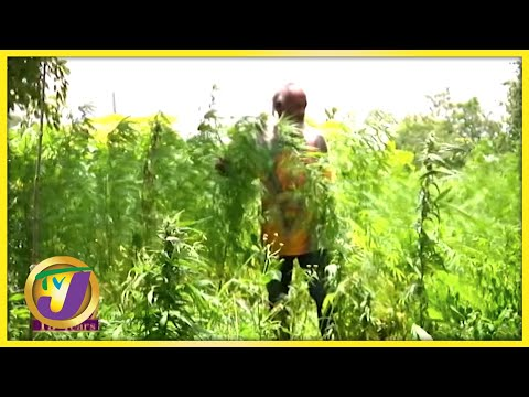 Jamaica's Cannabis Industry | TVJ All Angles - July 14 2021