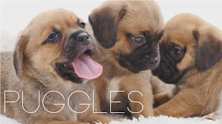 Puggle Puppies April 2015