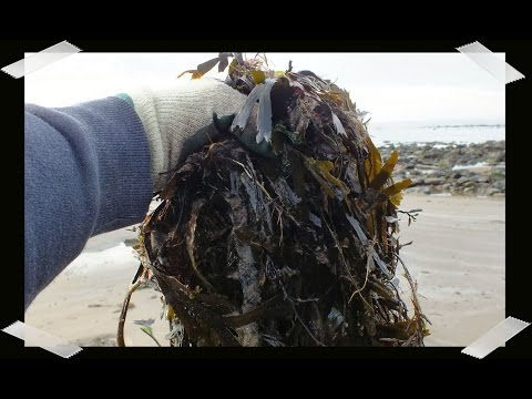 HGV how to Compost Seaweed,  start to finish. Collect, mix, chop, compost, Potato reveal.