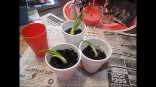 Mama Mo's Gardening Tips Vol 1 (How to grow Onions) *96*