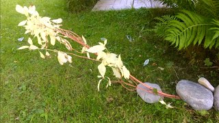 РАЗМНОЖЕНИЕ ОТВОДКАМИ. САМЫЙ НАДЕЖНЫЙ СПОСОБ. ДЕРЕН Элегантиссима. Побеги с листьями альбиносами.