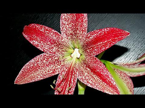ГИППЕАСТРУМ Луковичное комнатное растение
