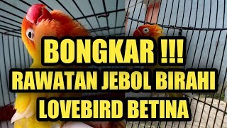 Download lagu BONGKAR !! KUPAS TUNTAS JEBOL BIRAHI LB BETINA // RAHASIA  MANDI & PAKAN