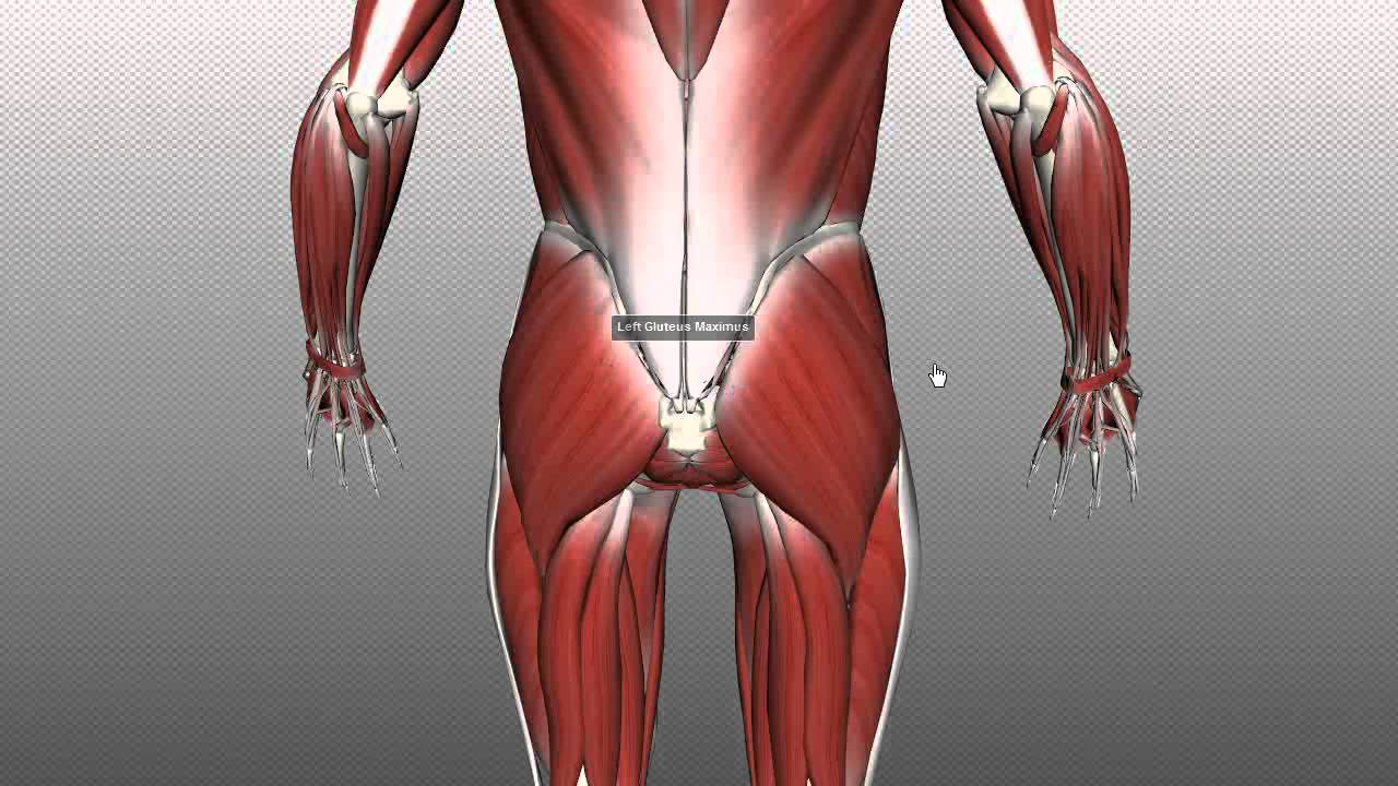 Muscles Of The Gluteal Region Part 1 Anatomy Tutorial Youtube