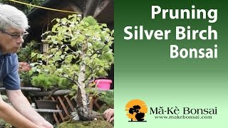 67) How to do Summer Pruning of Silver Birch Bonsai - Bonsai Trees for Beginners