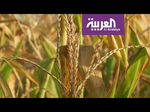 إنتاج طن من القمح يحتاج إلى ألف طن من المياه!  - 10:22-2018 / 4 / 22