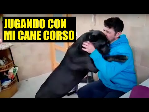 Cane Corso The Best Breed Youtube