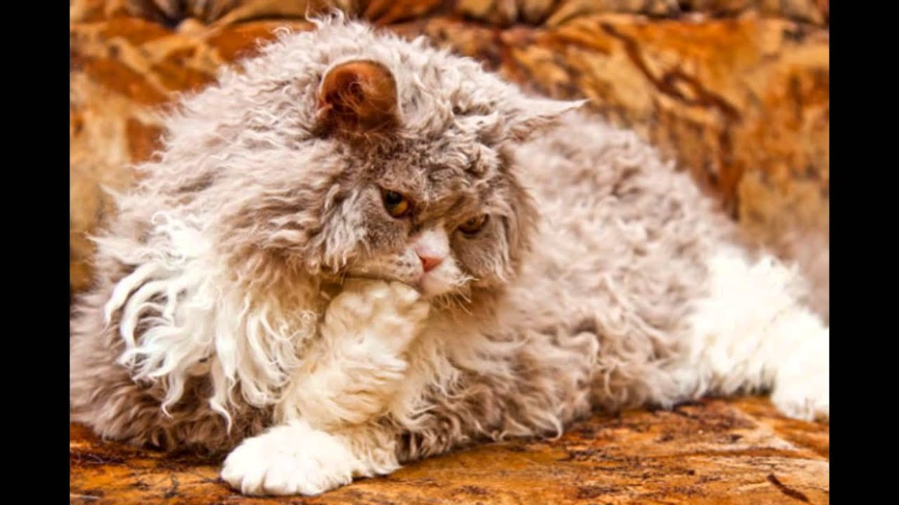 Лаперм Laperm Breed Cats With Curly Hair Youtube