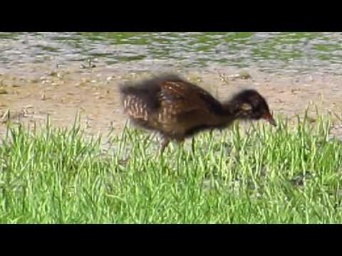 Sora Chick, Rockingham County Virginia