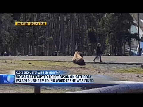 Woman attempts to pet bison in Yellowstone National Park