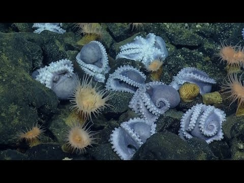 Never-Before-Seen Colony of 1,000 Brooding Octopuses Found Off California Coast