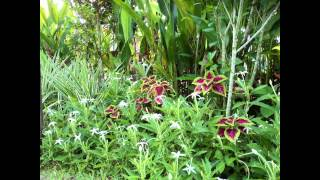 видео Лаурентия (изотома): выращивание из семян, пересадка, уход, возможная зимовка
