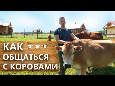 Как правильно общаться с коровой | Чем кормить корову и как гладить?