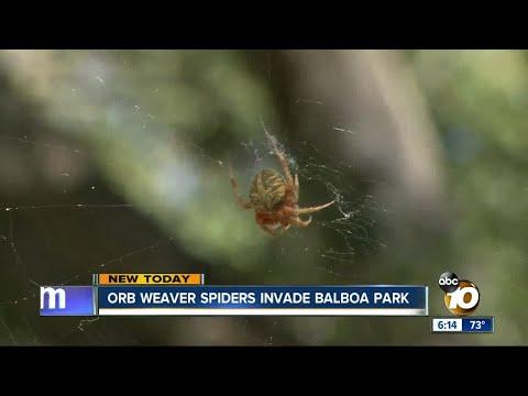 Orb Weaver spiders invade Balboa Park