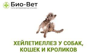Хейлетиеллез у собак, кошек и кроликов, блуждающая перхоть