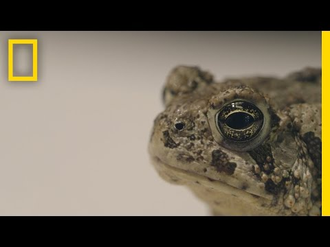 Can We Save These Rare Toads From Extinction?   National Geographic