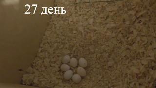 28 Разведение попугаев Две пары 11.05.17 Дневник разведения Видео каждый день